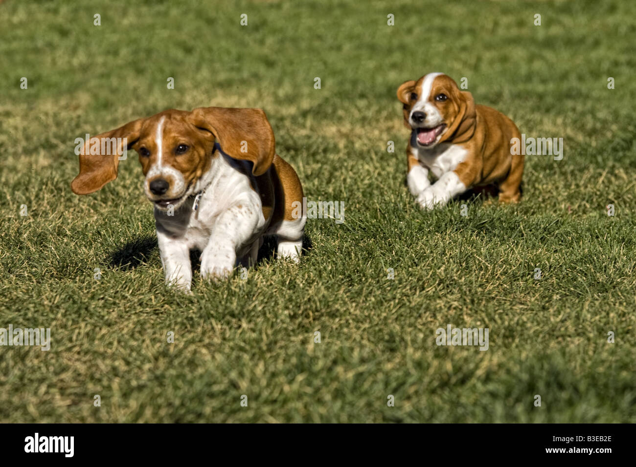 Basset Hound Pup Stock Photos Basset Hound Pup Stock