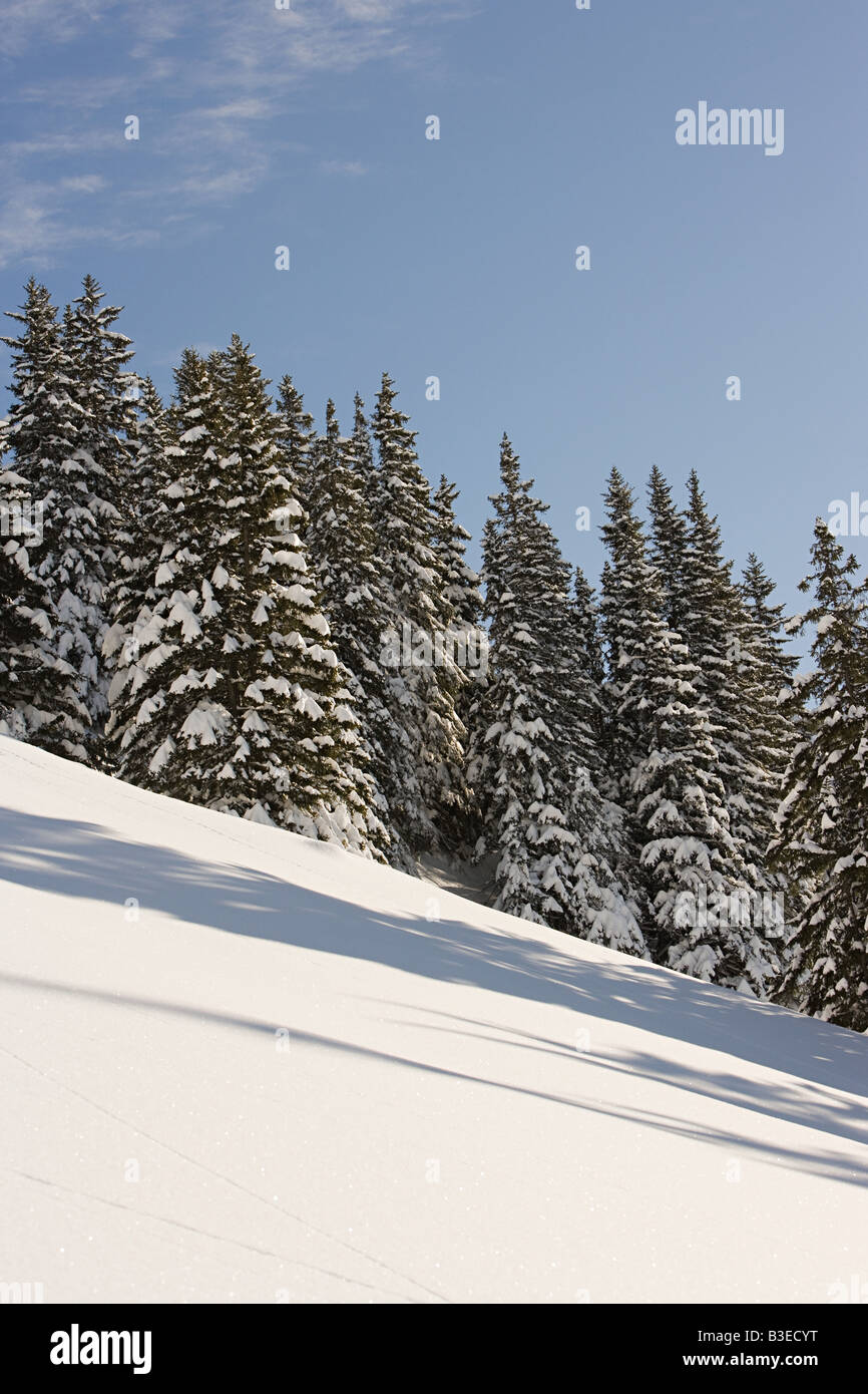 Fir trees on a ski slope - Stock Image