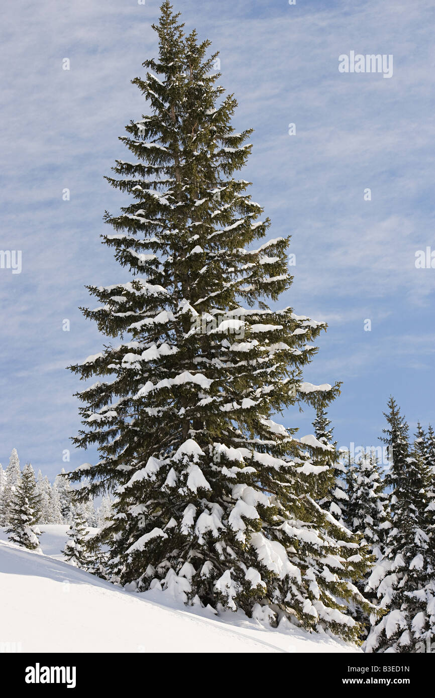 Fir trees covered in snow - Stock Image
