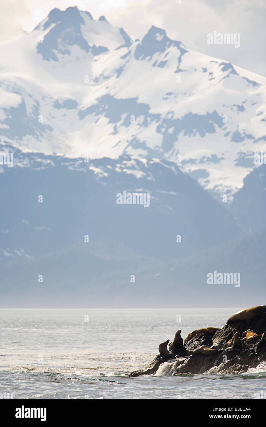 Stellar sea lion colony - Stock Image