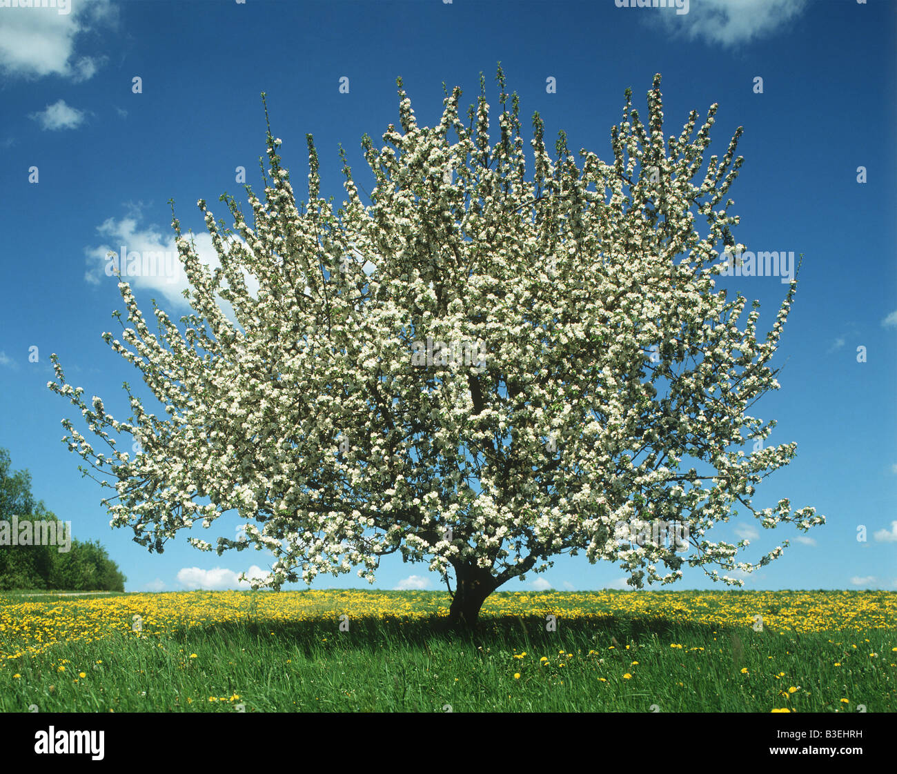 Tree in spring time - Stock Image
