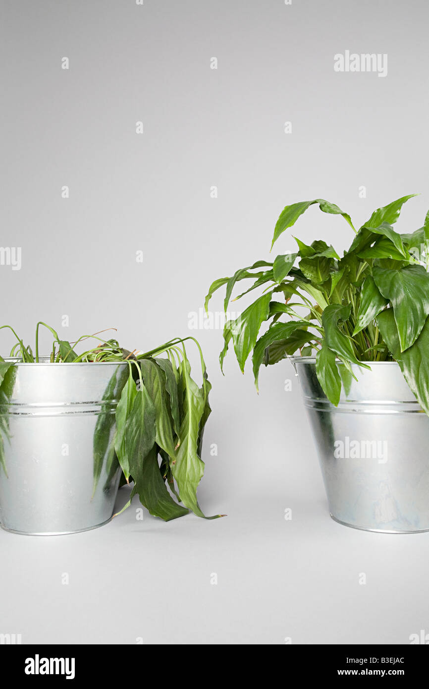Dying plant and healthy plant - Stock Image