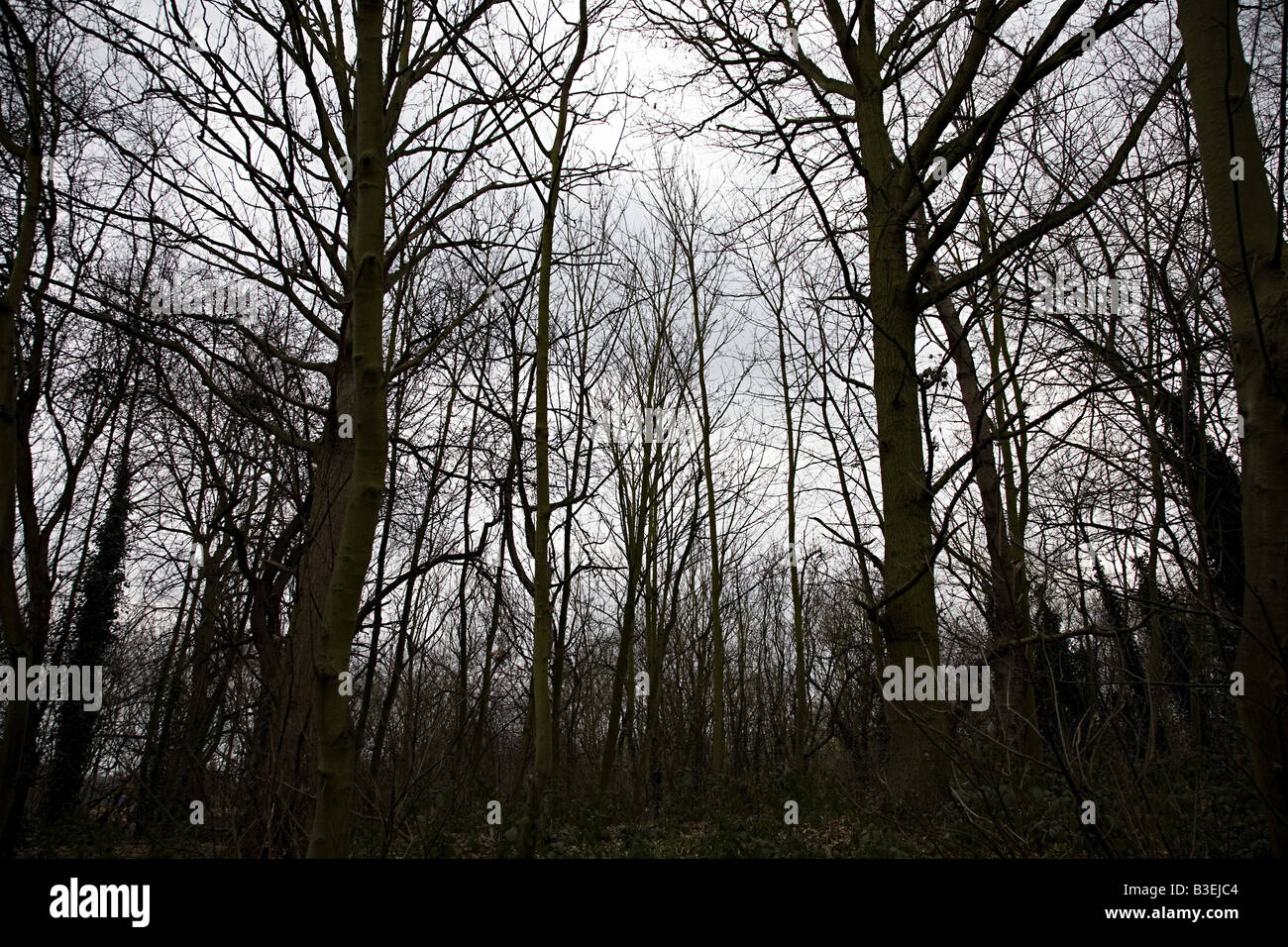 Forest of bare trees - Stock Image