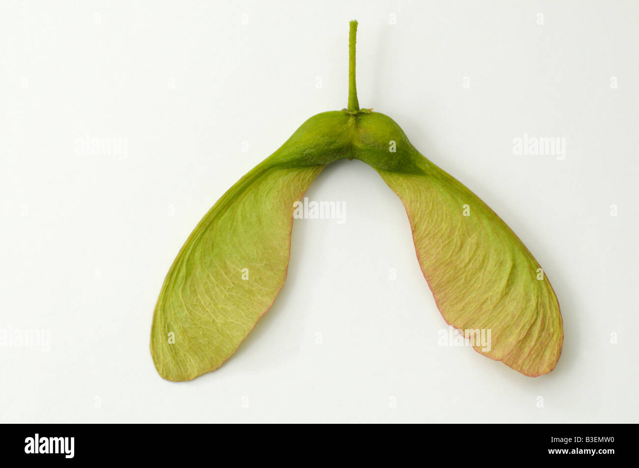 Sycamore Great Maple (Acer pseudoplatanus) winged seed Stock Photo