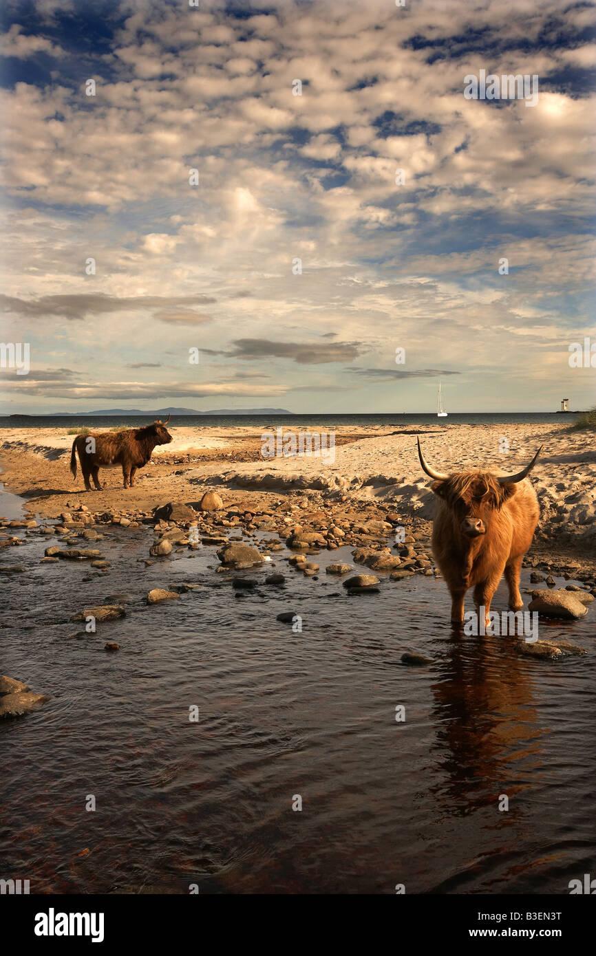 Highland cattle on beach Kilnaughton Bay Port Ellen Isle of Islay Scotland UK - Stock Image