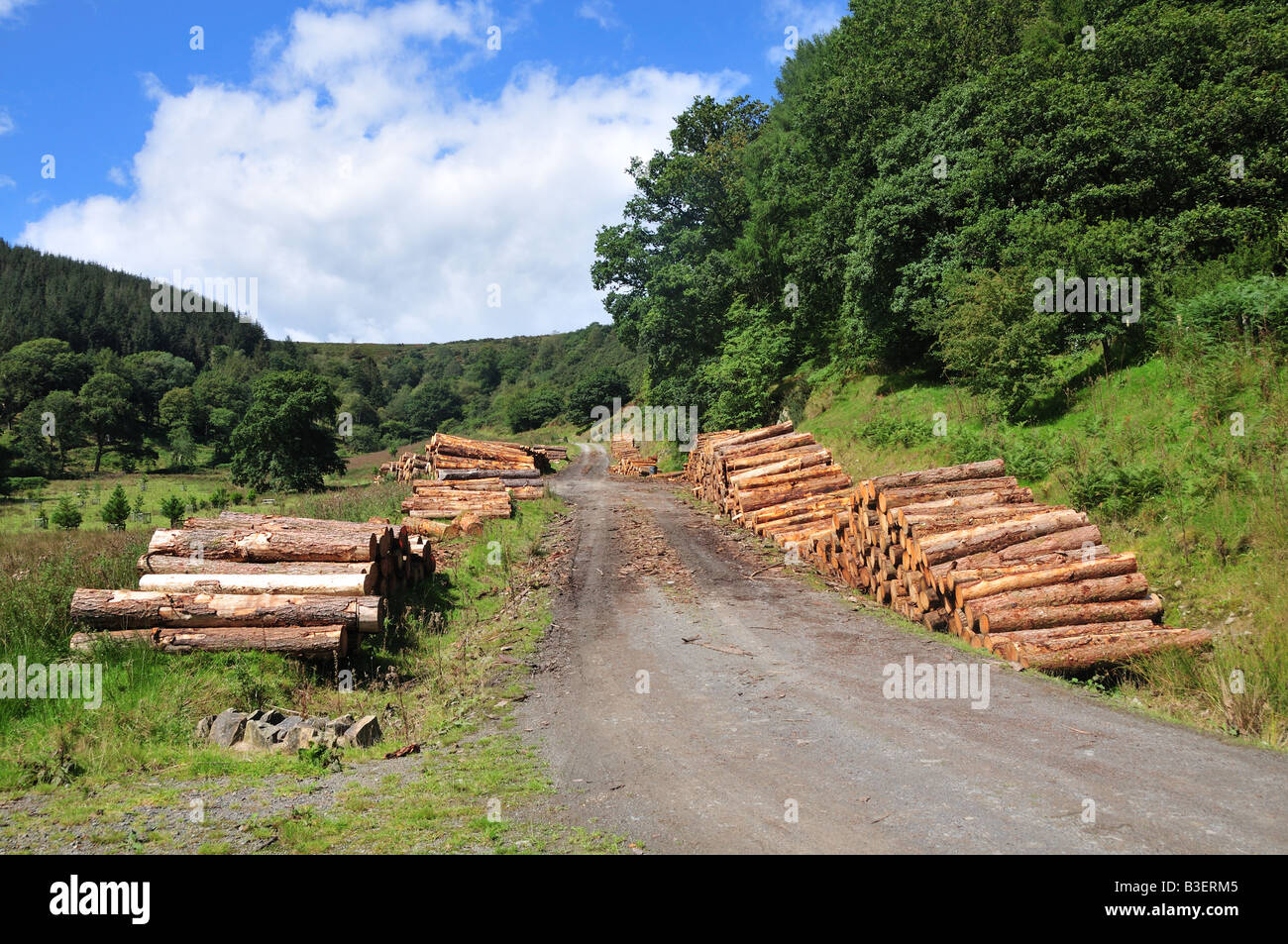 Timber ready for transportation on a forestry road Talley Llandilo Wales - Stock Image