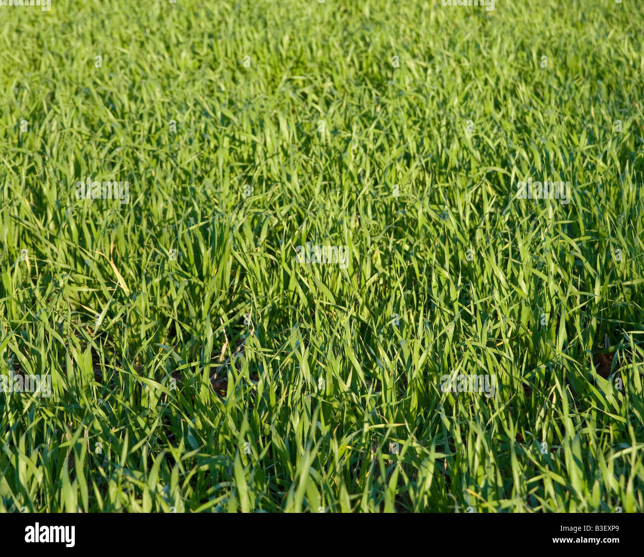 great background image of lush green grass - Stock Image