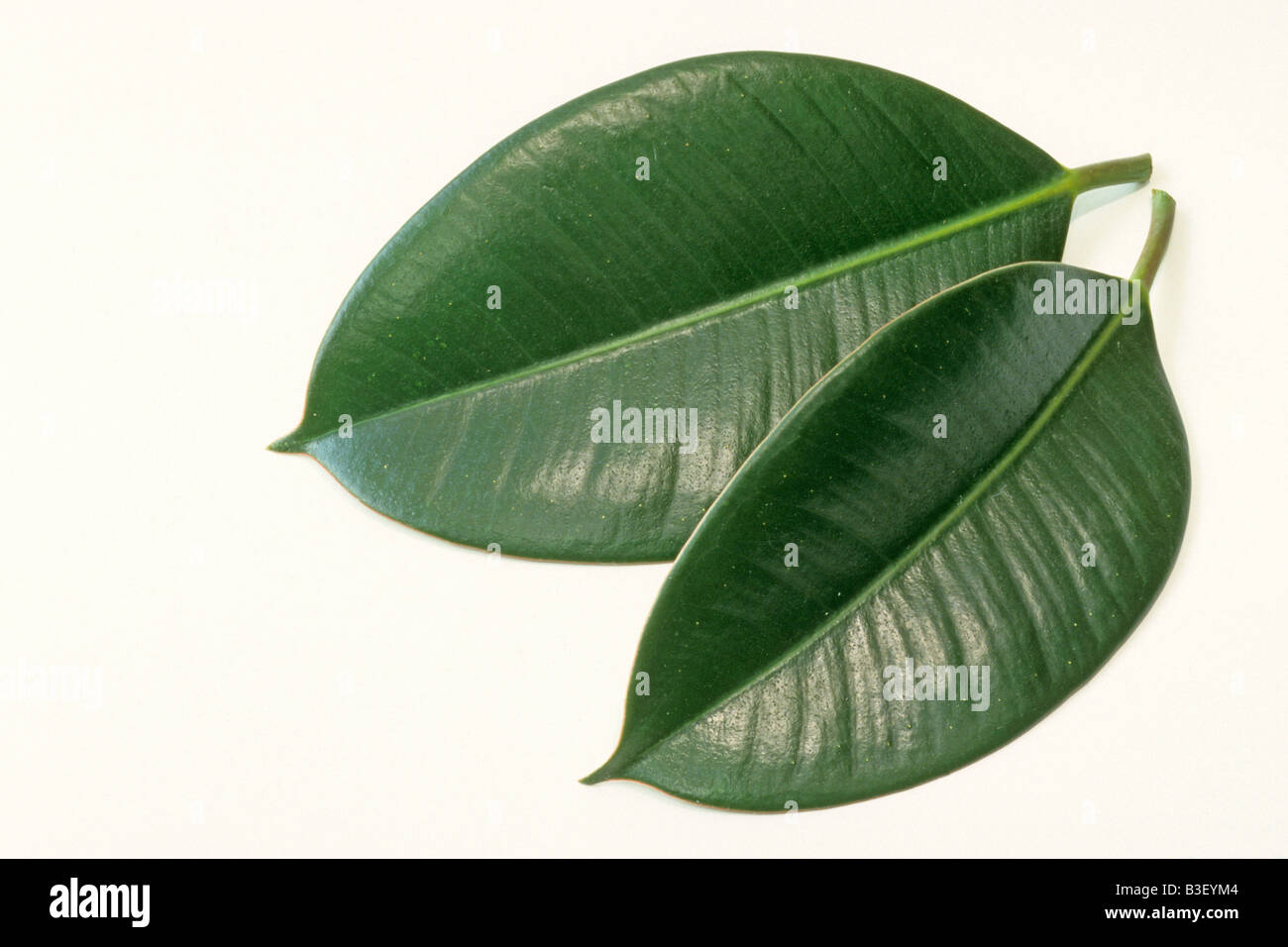 India Rubber Tree, Rubber Fig (Ficus Elastica), Two Leaves, Studio Picture