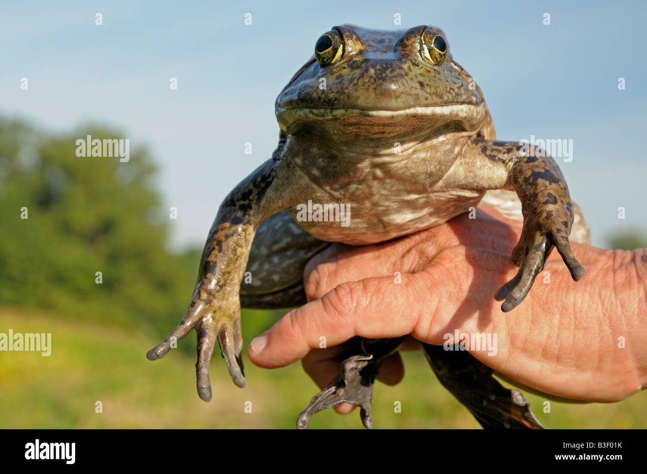 American Bullfrog (Rana catesbeiana), adult held in hand Stock Photo