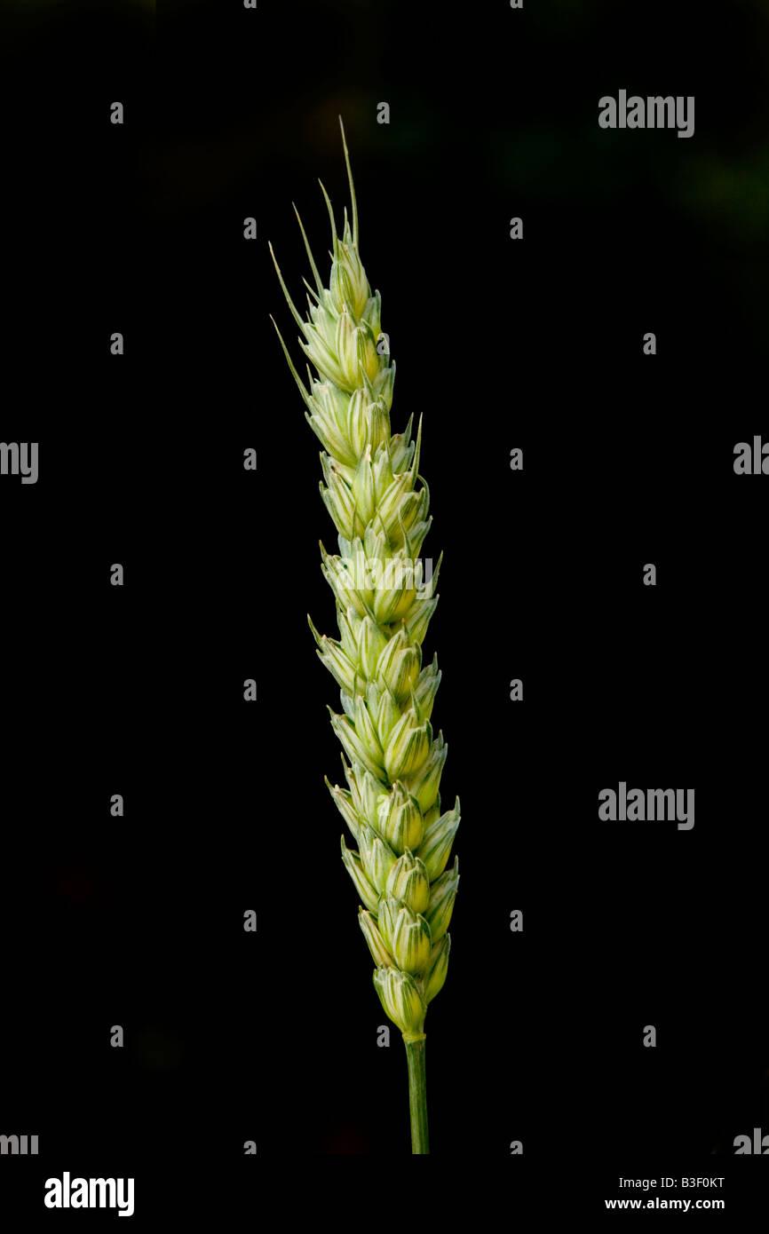Ear of corn, England, UK - Stock Image