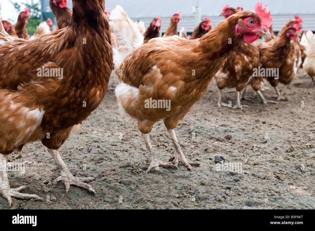 Freerange chicken chickens hen hens poultry free range eggs farming farmer farm bird birds food production shed - Stock Image
