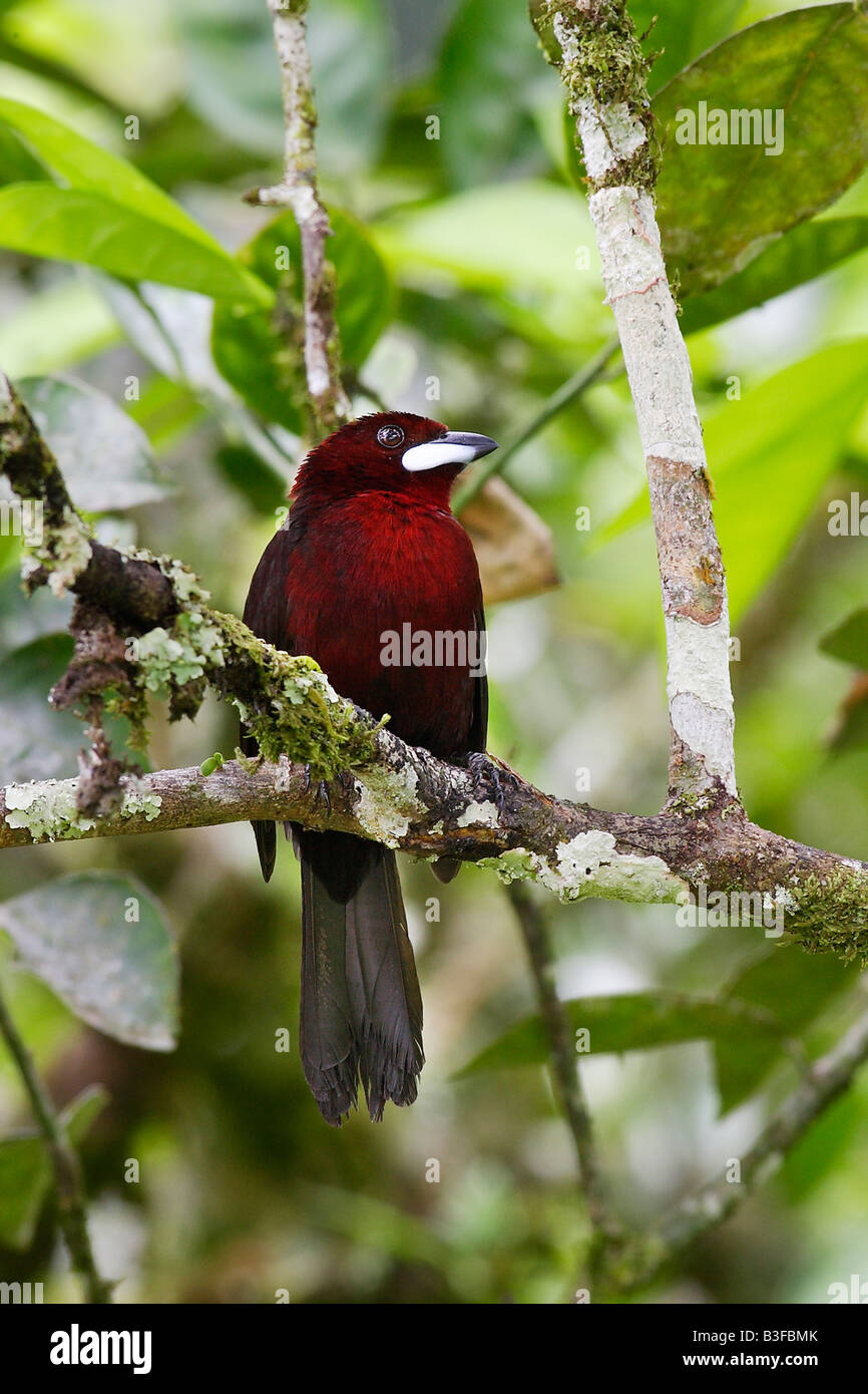 Silver beaked Tanager (Ramphocelus carbo) perched on twig - Stock Image