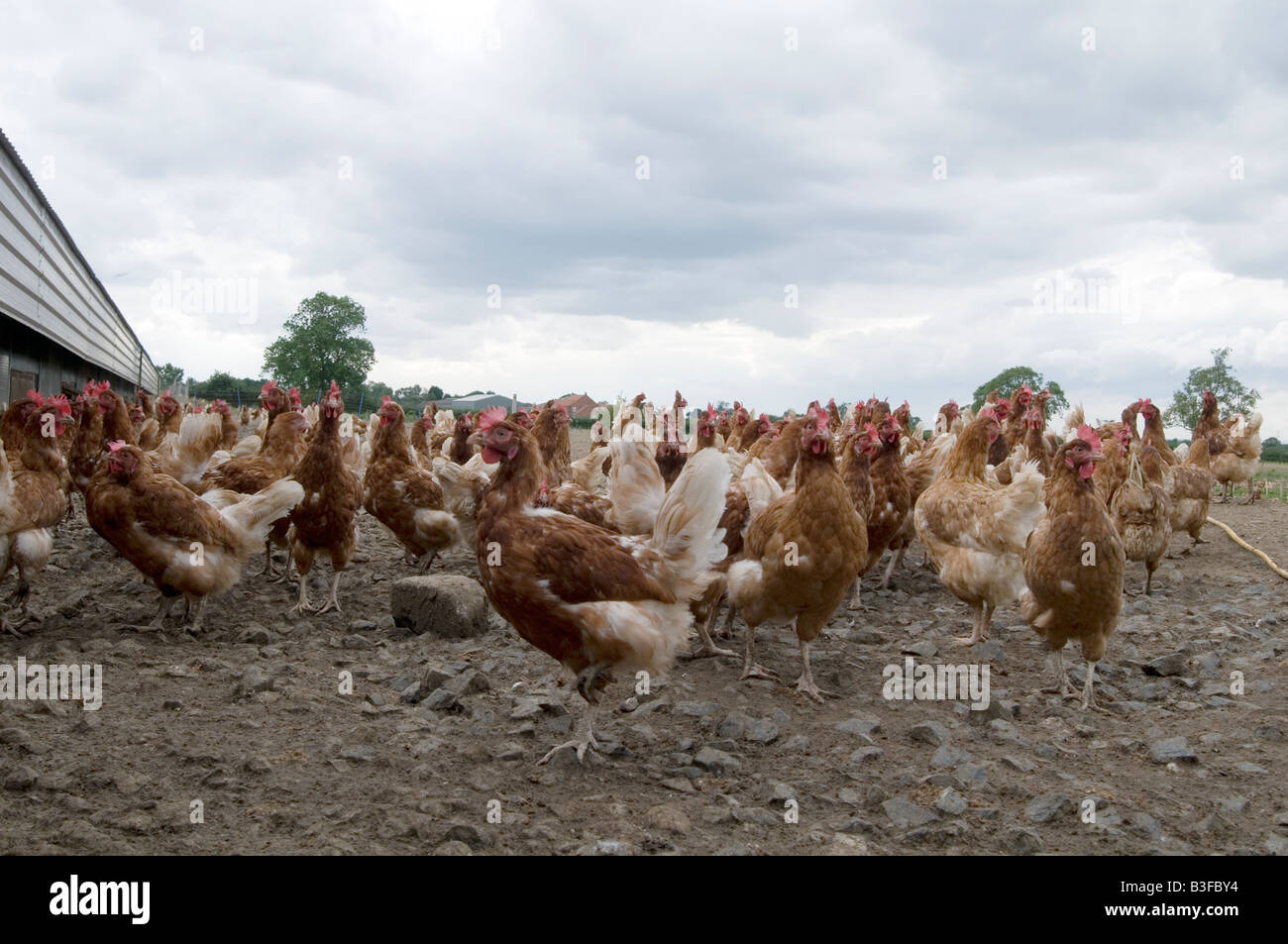 Freerange chicken chickens hen hens poultry free range eggs farming farmer farm bird birds food production shed - Stock Image