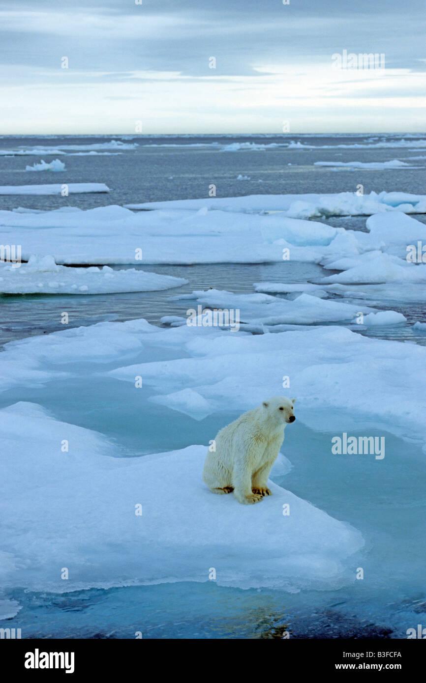 Polar Bear (Ursus maritimus, Thalarctos maritimus) sitting on ice floe Stock Photo