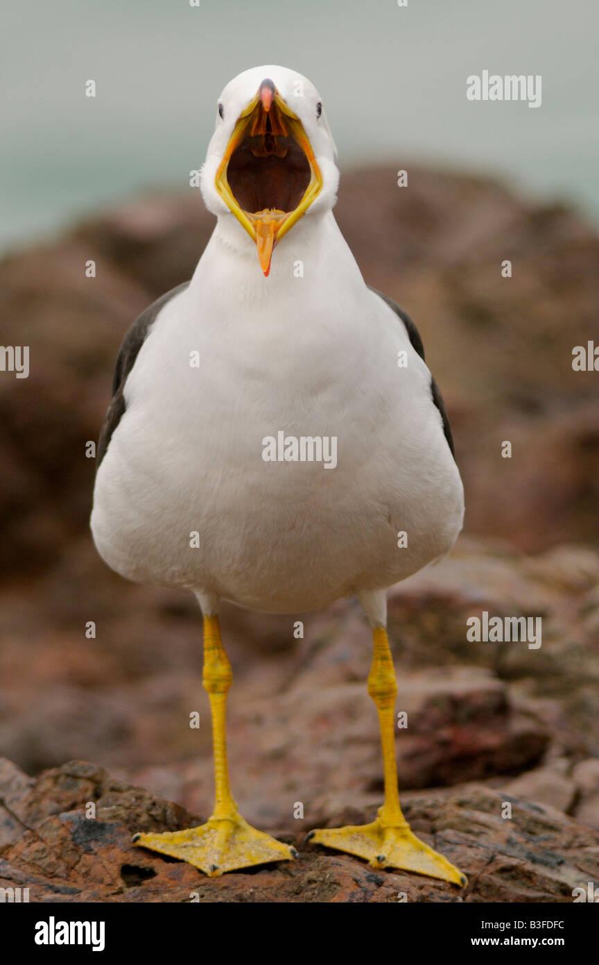 Belcher's or Peruvian band-tailed Gull Larus belcheri - Stock Image