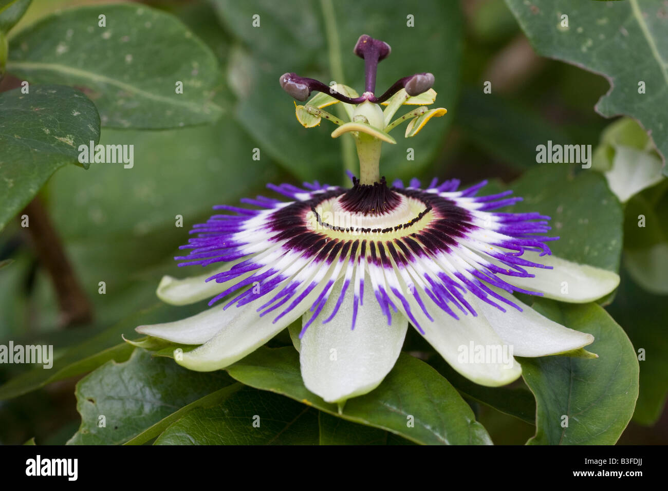 The Flower Of A Blue Passion Flower Passiflora Caerulea Stock Photo