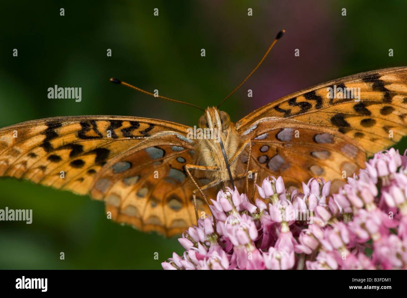 fritillary butterfly sucking nectar from a milkweed flower - Stock Image
