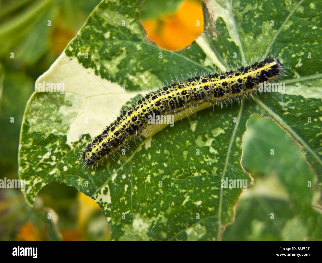 Caterpillar of large white pieris brassicae eating nasturtium leaf variety Alaska in September - Stock Image