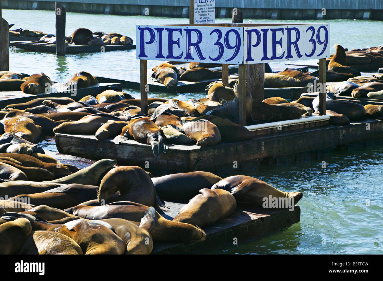 Seal ions Pier 39 - Stock Image