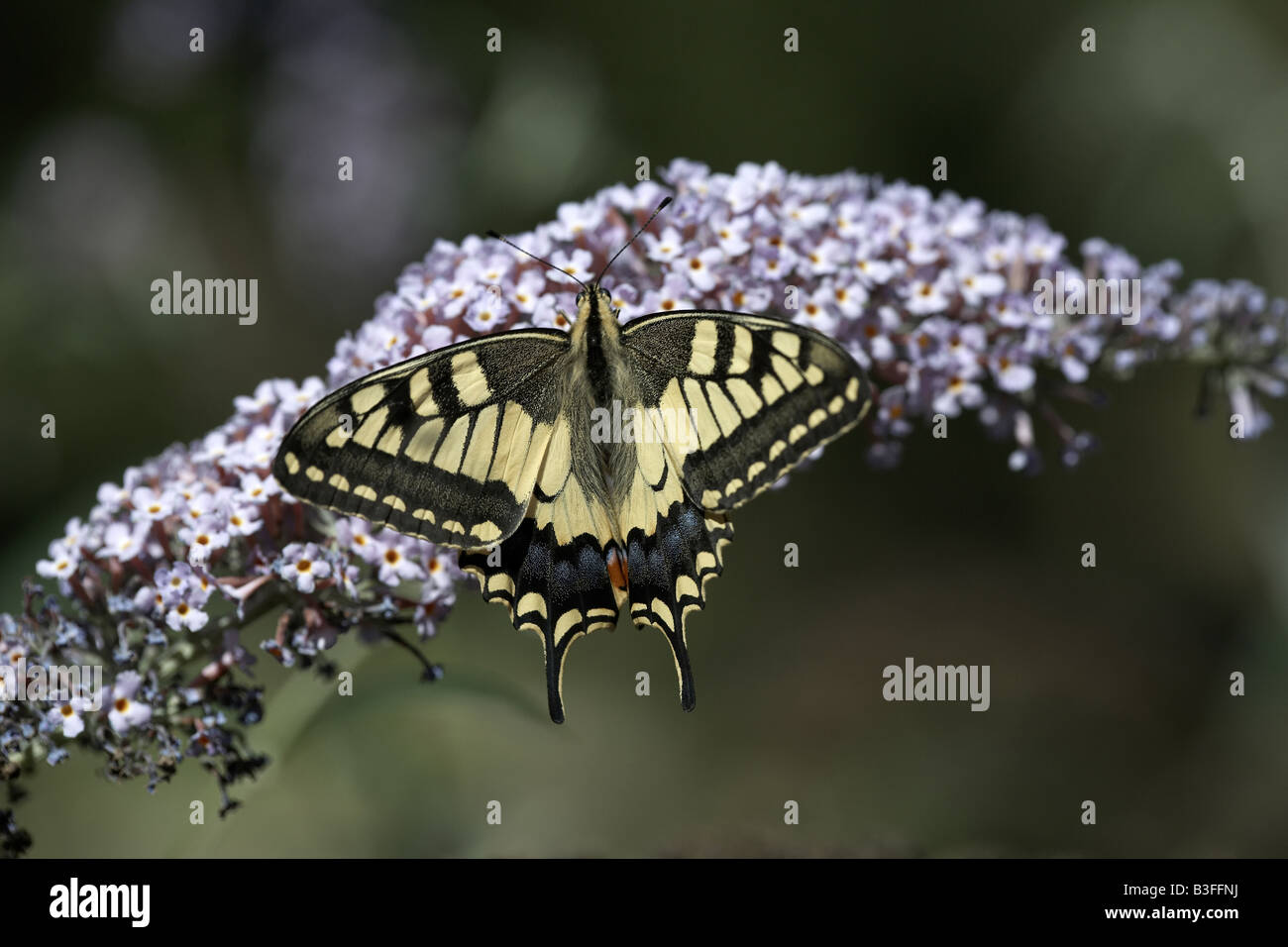 Swallowtail butterfly Papilio machaon feeding on nectar on lilac bloom Verfeil midi pyrenees France - Stock Image