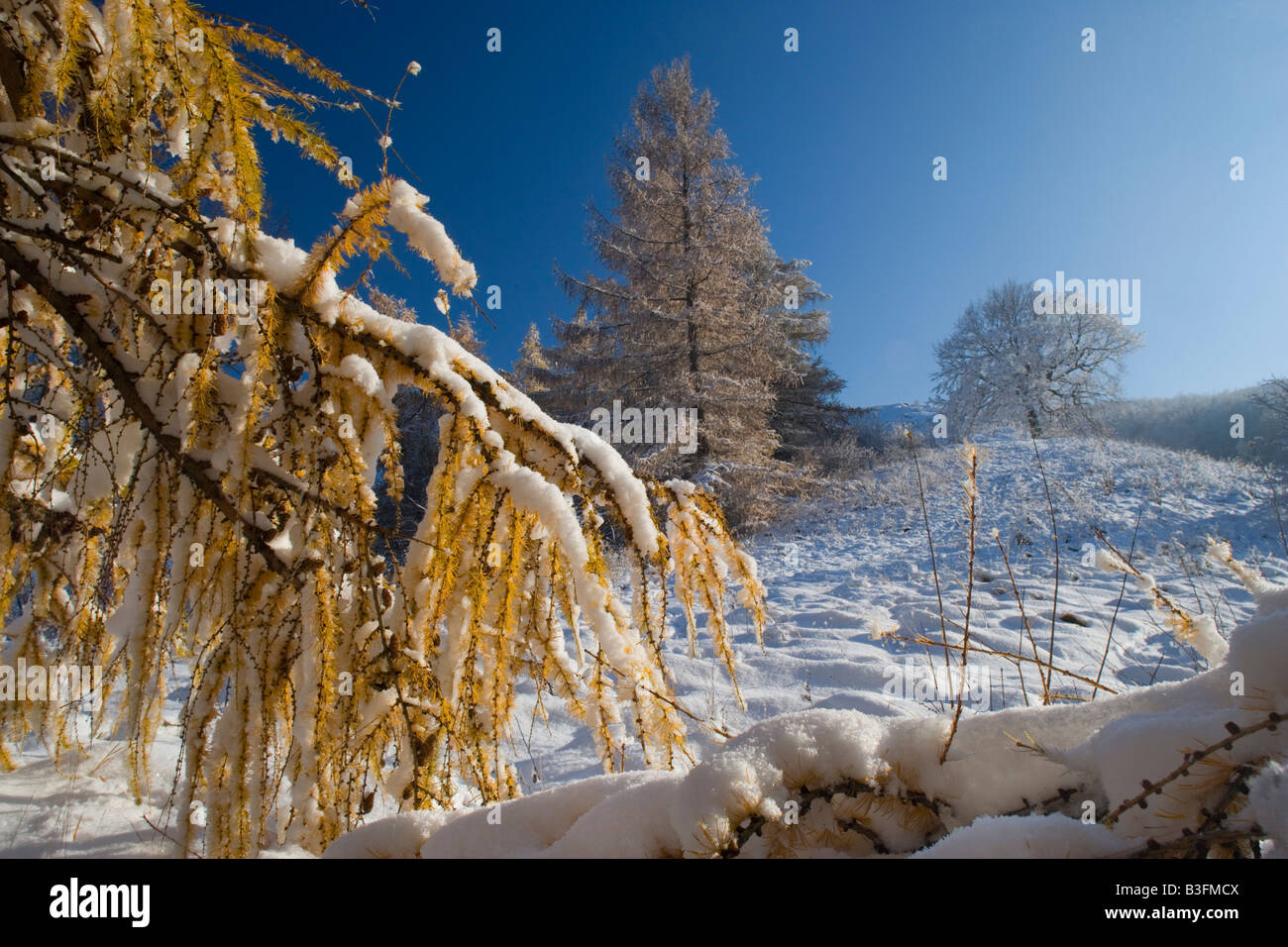 Winter sets in freshly snow covered winter landscape after winter set in with autumnal coloured larches Schwaebische Stock Photo