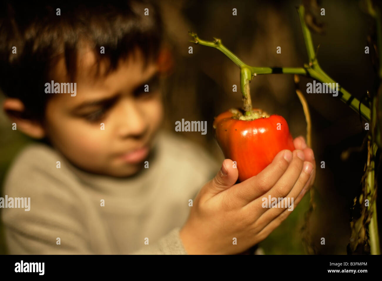 Six year old boy holds organically grown red pepper in a neglected vegetable patch Leaves stripped by caterpillars - Stock Image