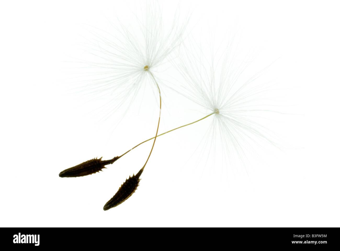 blowball pusteblume clock dandelion gewoehnlicher loewenzahn taraxacum sect ruderalia - Stock Image