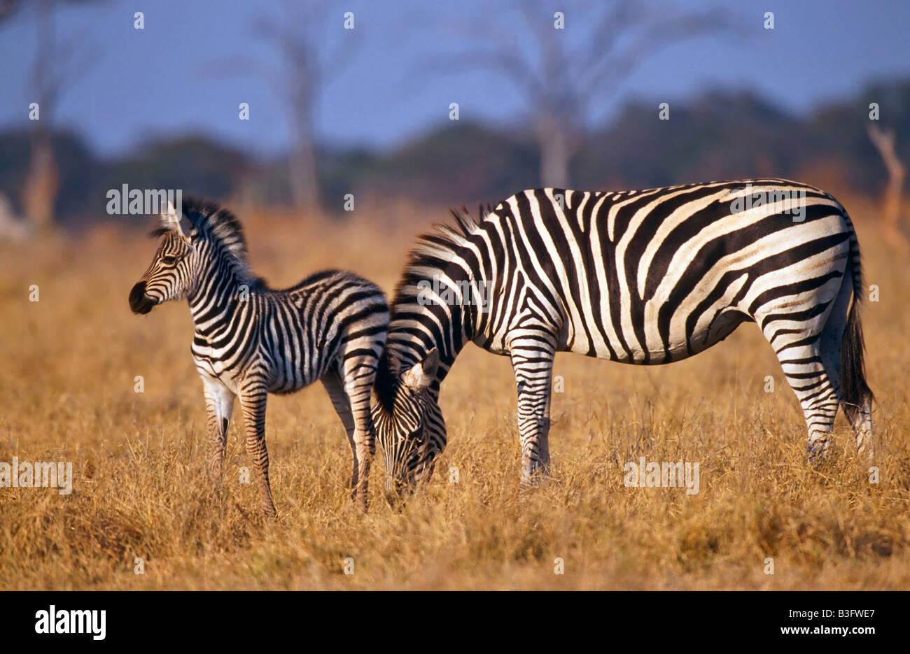 plains zebra in simbabwe africa Stock Photo