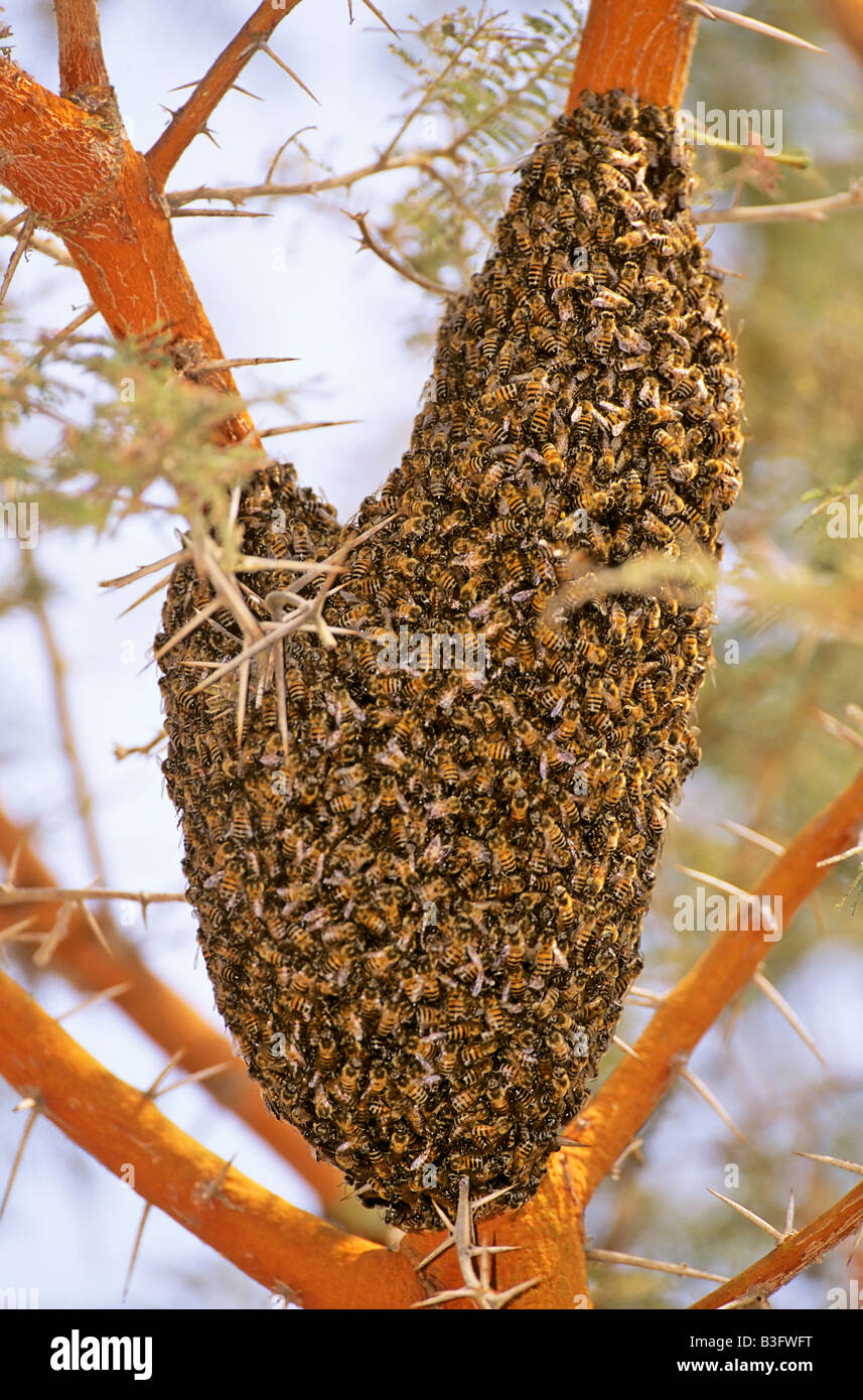 Zimbabwe Afrika Wildbienen Schwarm an Pflanze Matobo NP Wildbee nest - Stock Image