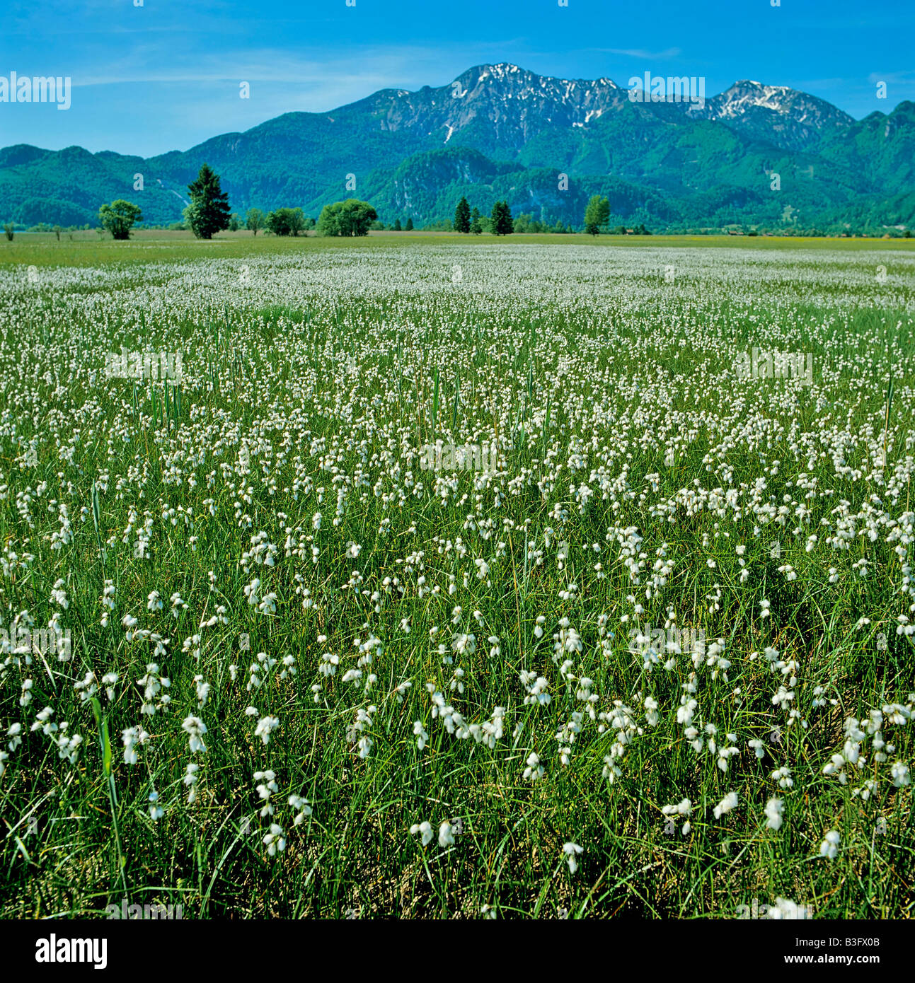 meadow of cotton grass - Stock Image