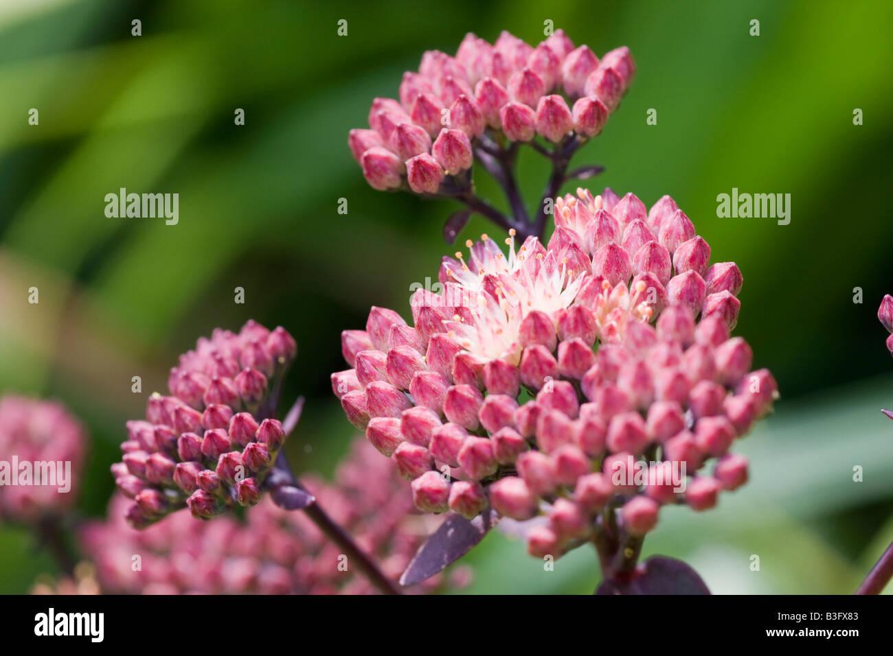 Sedum Spectabile Pink Flowers Stock Photos Sedum Spectabile Pink