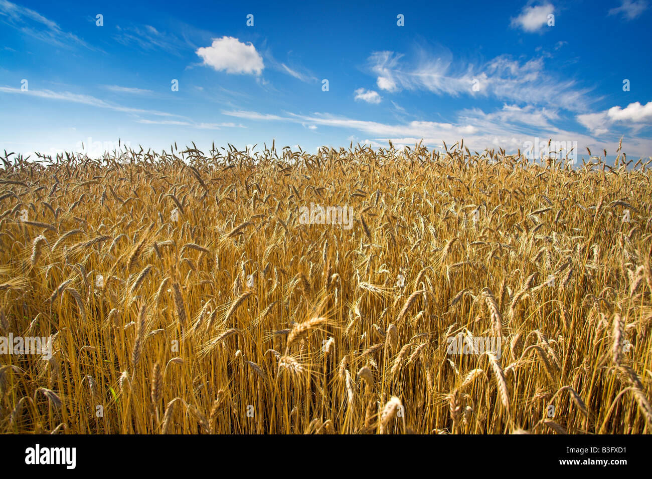 The field of wheat - Stock Image