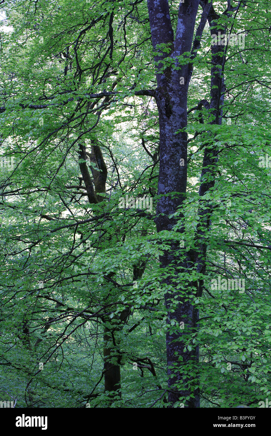 beech forest spring Stock Photo