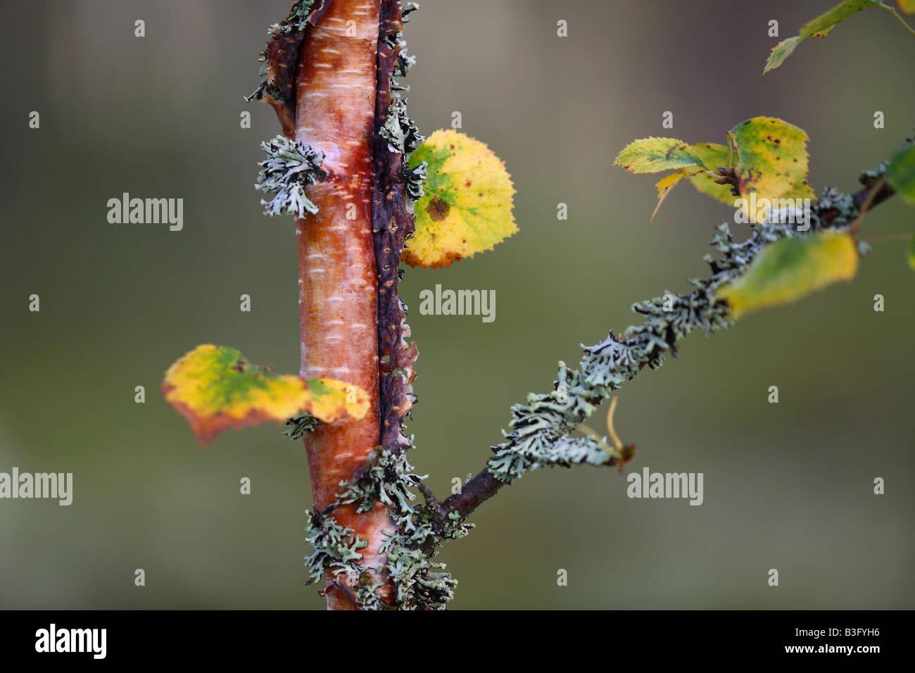 birch detail Stock Photo