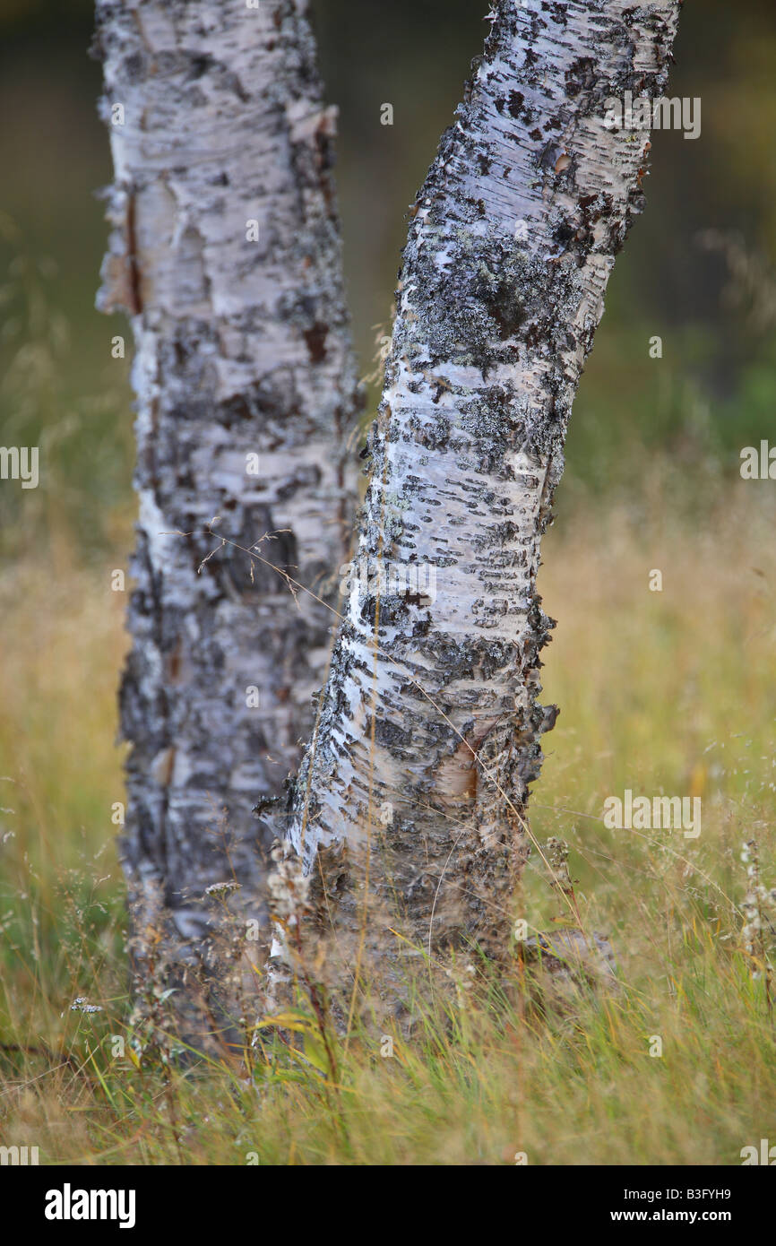 birch detail Stock Photo