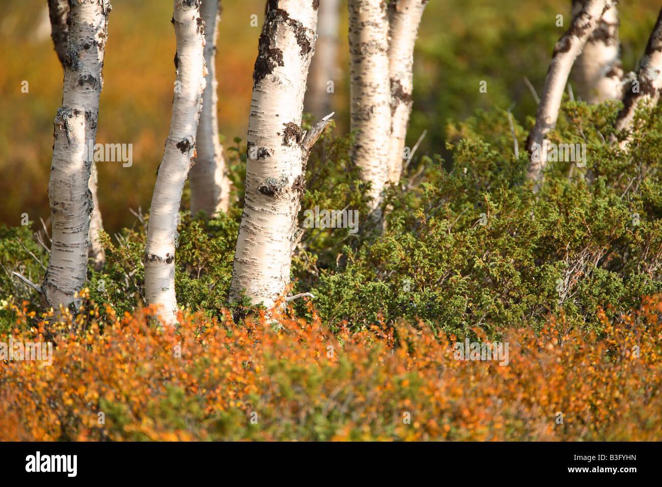 birchs in autumn Stock Photo