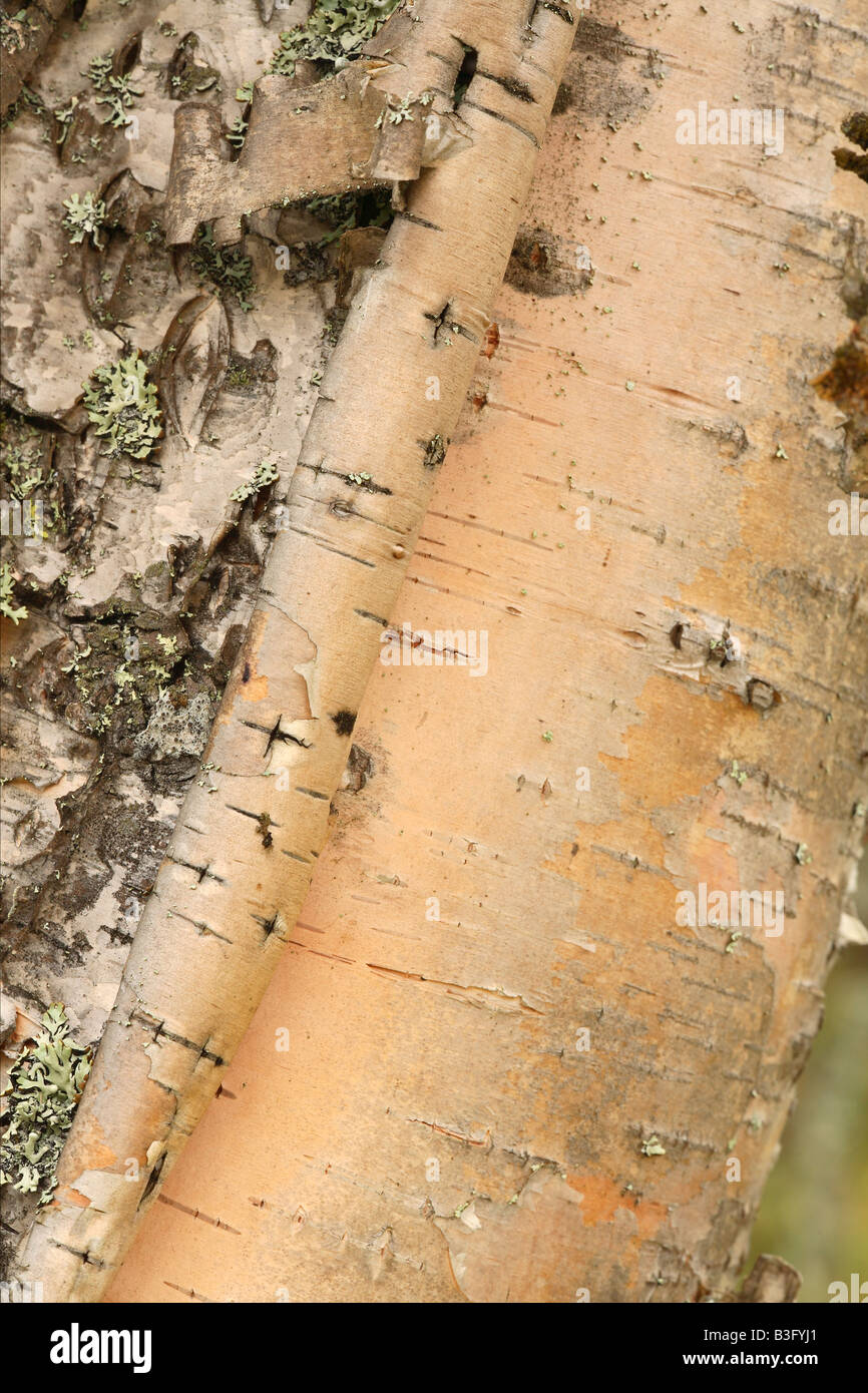 birch bark detail Stock Photo