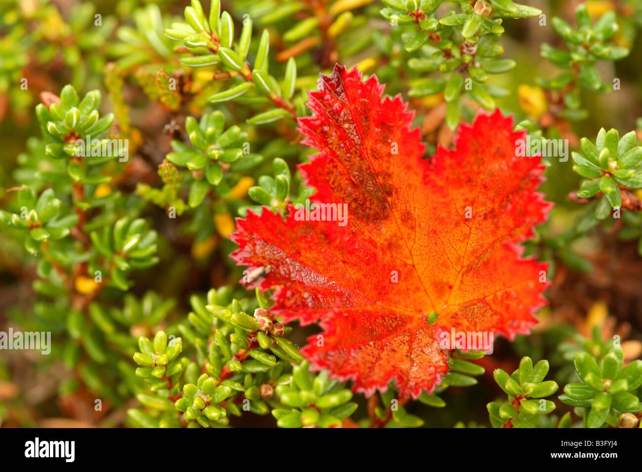 autumnal leaf maple tree Stock Photo