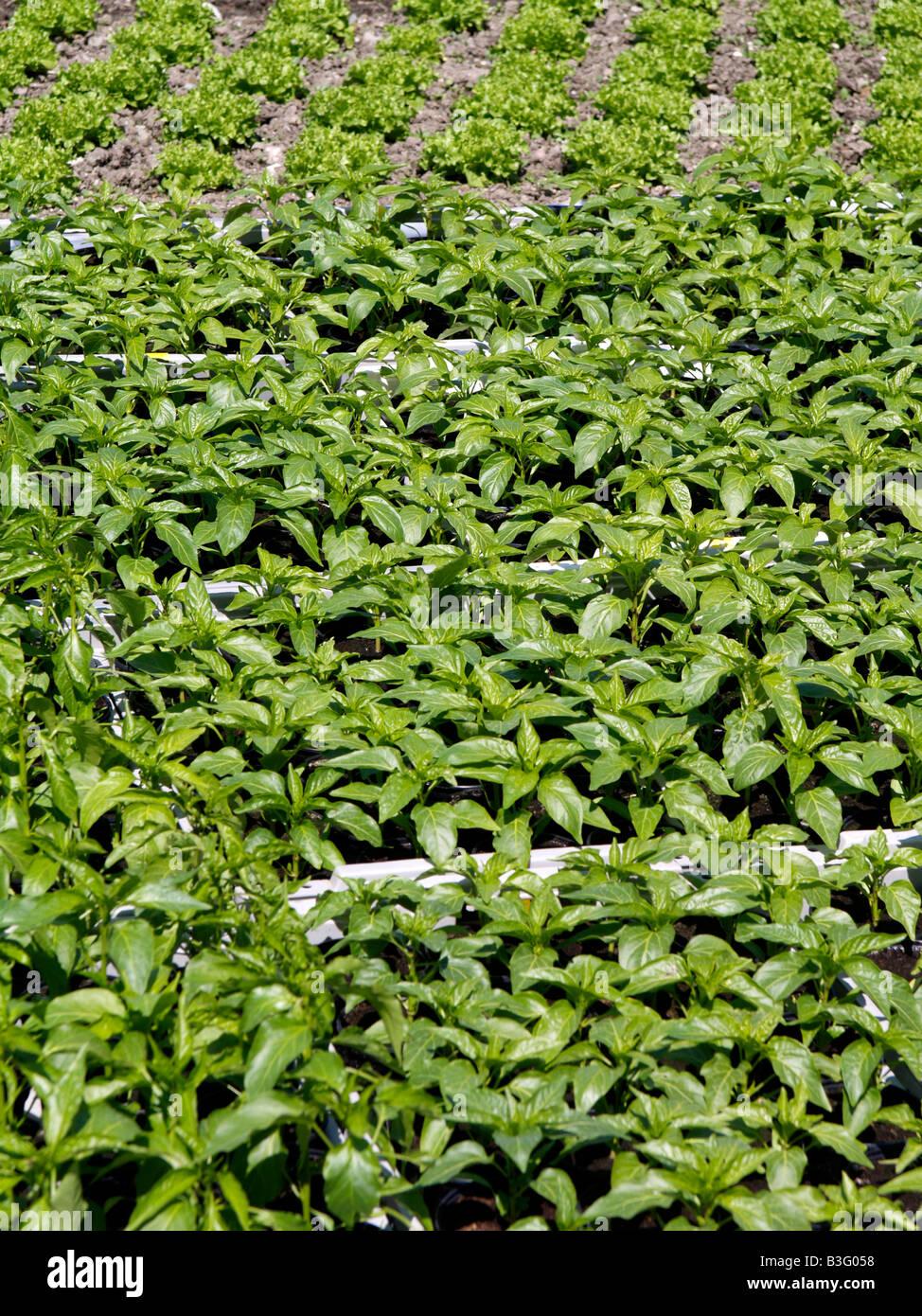 Junge Paprikapflanzen, young Paprika plant - Stock Image