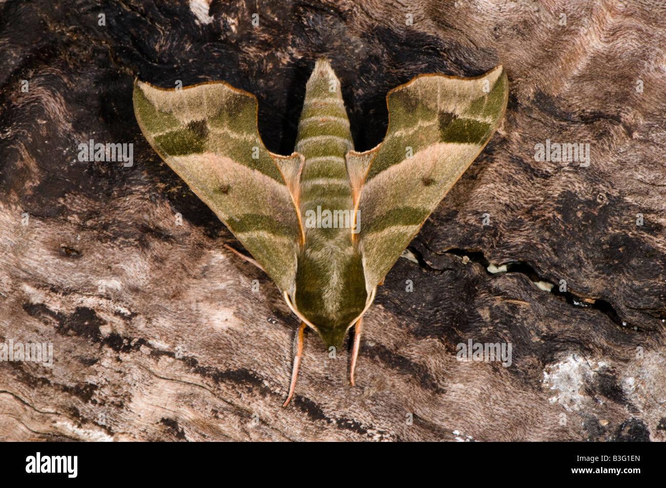 Virginia Creeper Sphinx moth - Stock Image