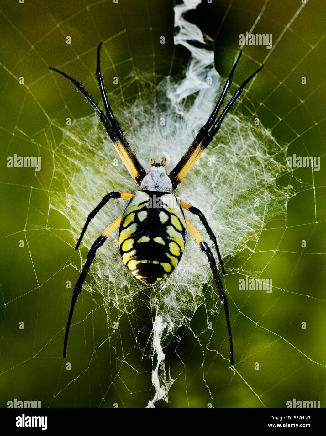A yellow and black orb web spider sits on it s web waiting for a snack in the woods of Southern Missouri USA - Stock Image