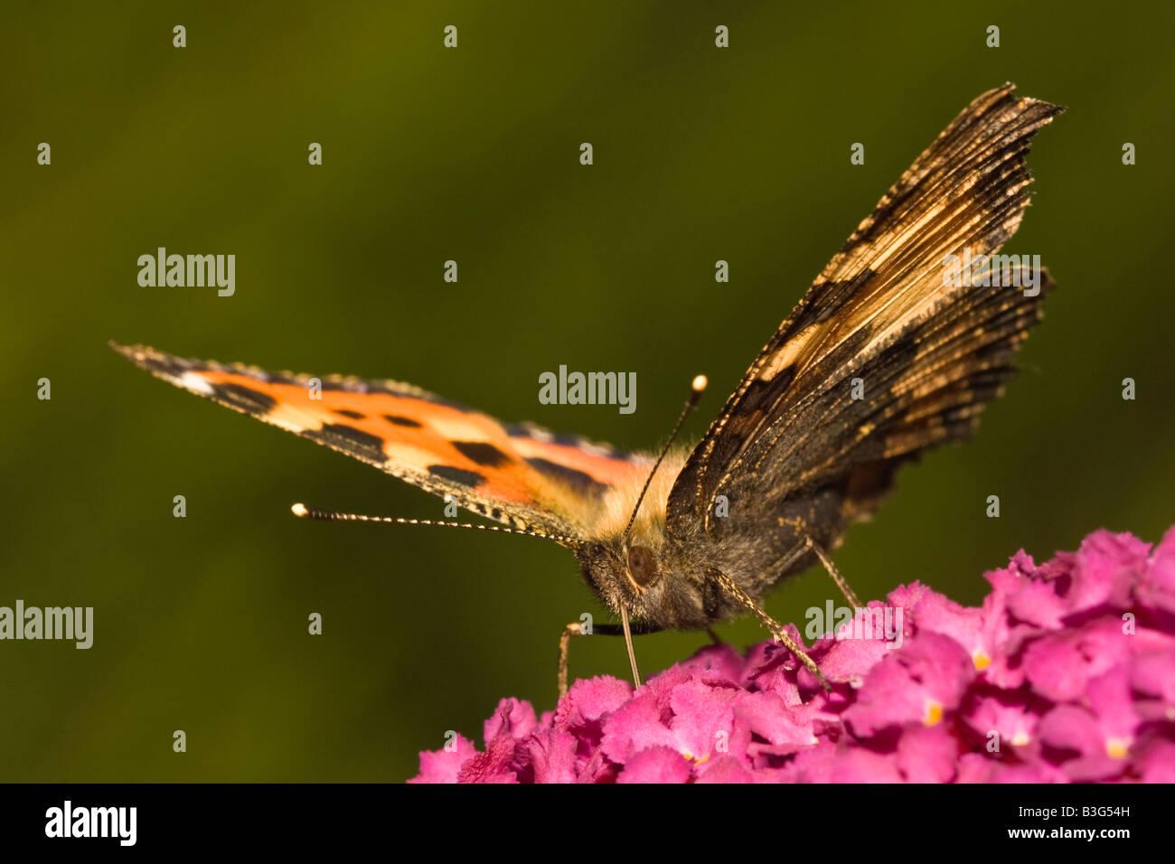 Small Tortoiseshell butterfly (Aglais urticae) nectaring on Buddleia - Stock Image