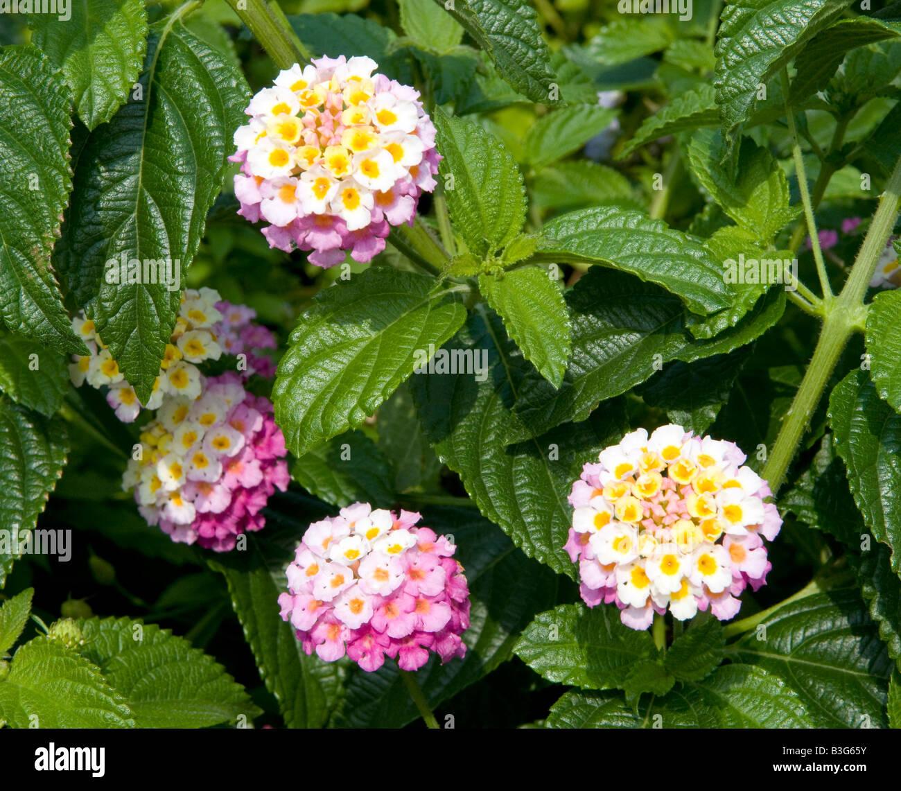 Lantana Camera `Feston Rose` verbenacea - Stock Image
