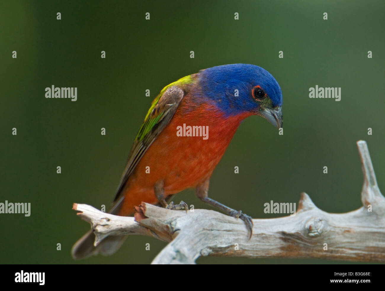 Digital image of a colorful Painted Bunting perched on a limb - Stock Image