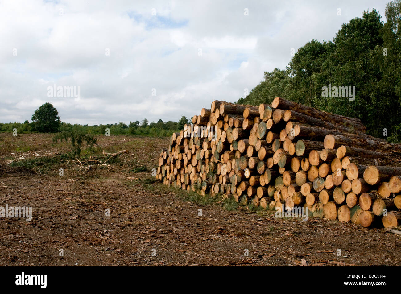 Softwood timber stacked for transport in Tunstall Forest, Suffolk - Stock Image