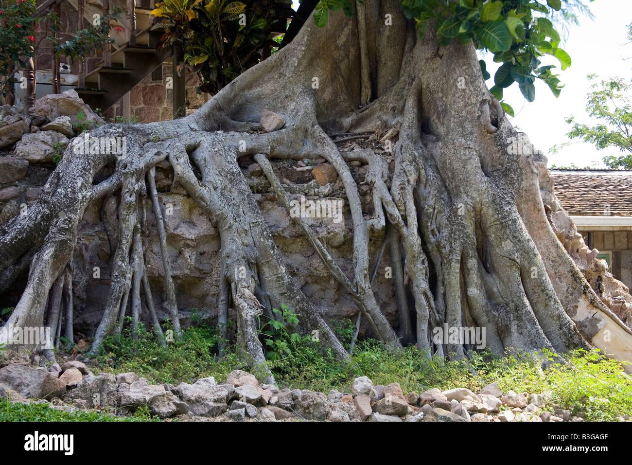 Unusual hugh spreading tree roots - Stock Image