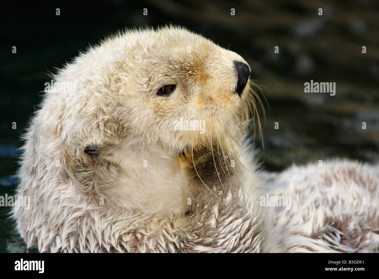 Sea otter grooming fur -Note Captive subject - Stock Image
