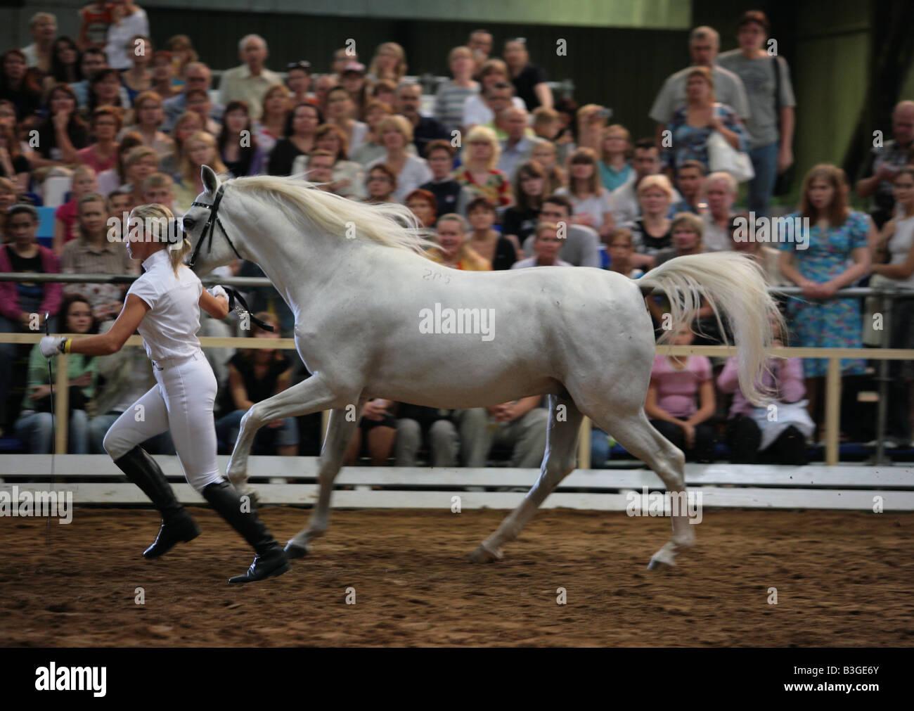 Arabian horses show in Russia - Stock Image