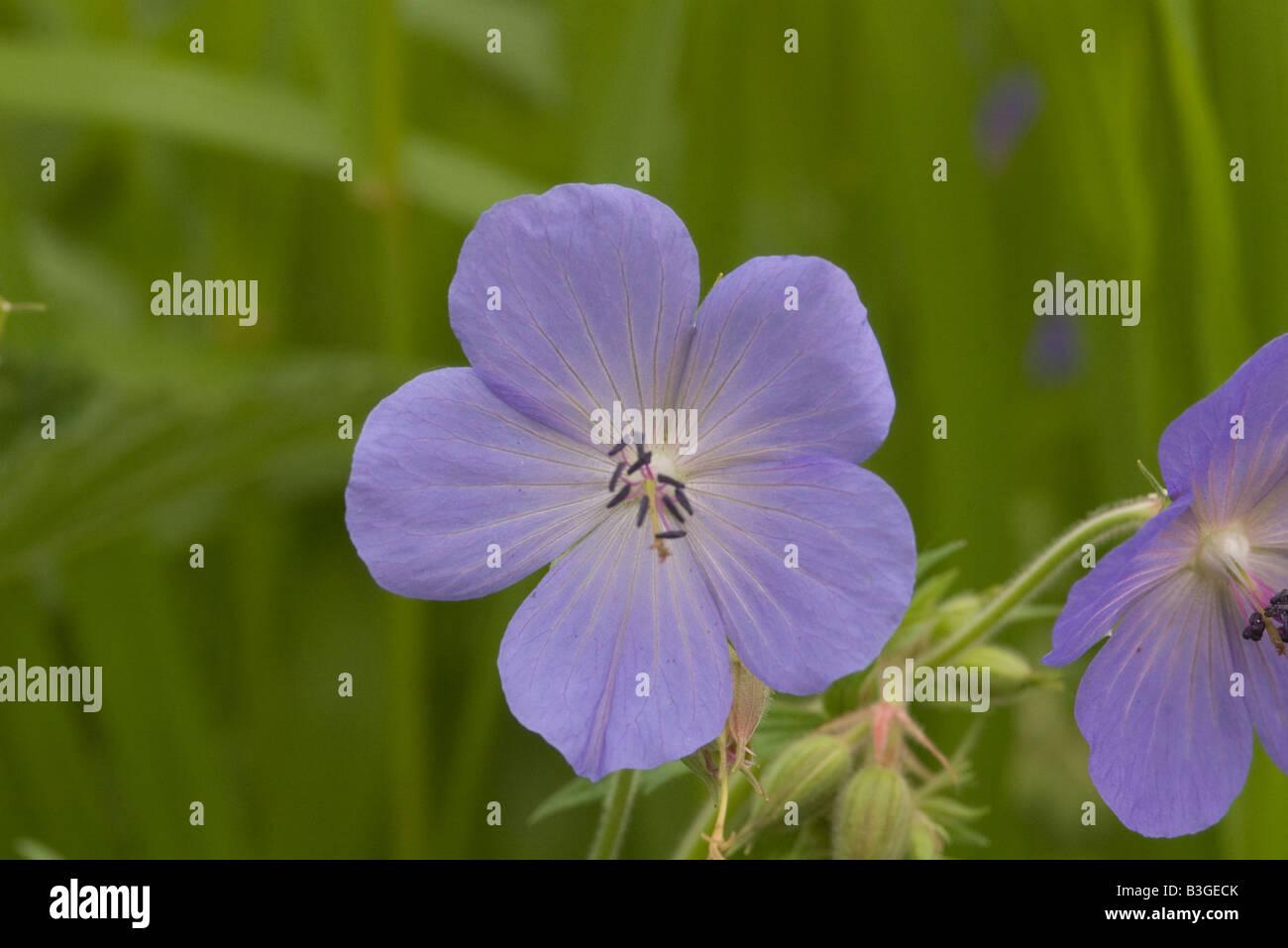 Geranium pratense Wiesen-Storchschnabel wild flower - Stock Image