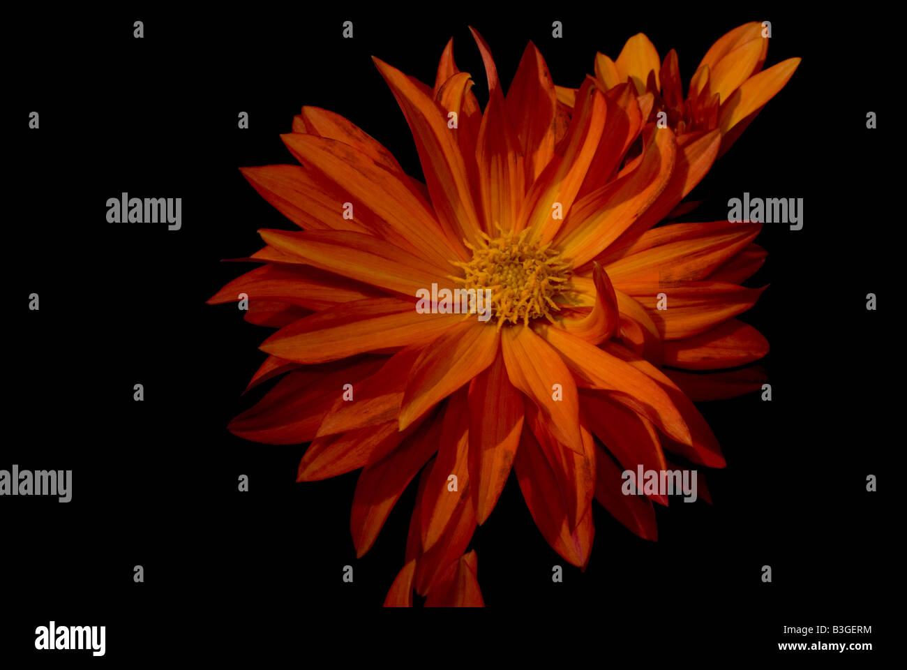 Dahlia - Stock Image